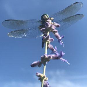 Trust & Dragonflies
